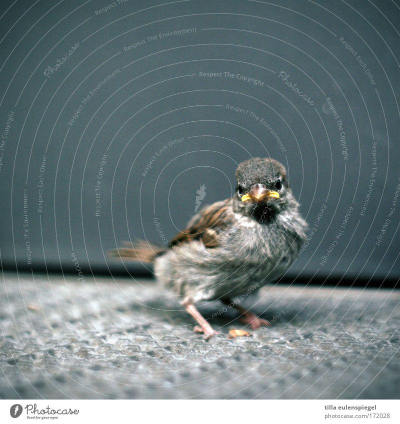 piep. Tier kalt Tierjunges Vogel warten Wildtier Flügel beobachten Spatz hilflos verstört gefiedert Hemmung ausgeliefert Sperlingsvögel Nestwärme