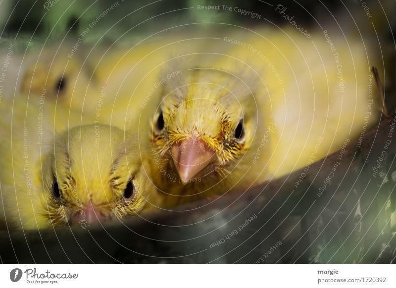 Vorwitzig Tier Vogel Tiergesicht 3 gelb grün Schnabel Tiergruppe Tierjunges Tierzucht Kanarienvogel Nestbau Nestwärme Federvieh vorwitzig Angst Küken