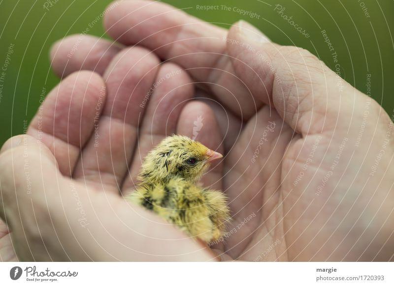 Schutzbedürftig! grün Hand Tier gelb Leben Vogel Angst Feder Flügel gefährlich Finger Hoffnung Neugier Sicherheit festhalten