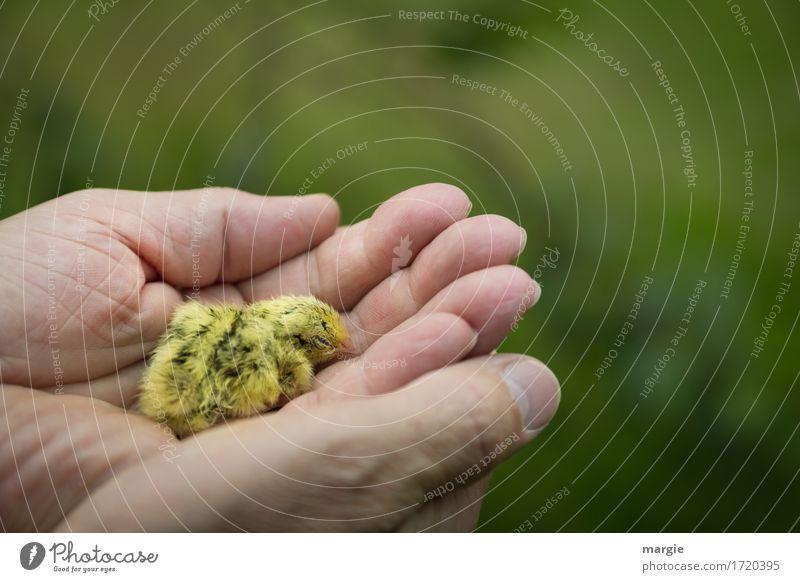 """Eine Handvoll """"Leben"""": ein kleines krankes Küken in einer Menschenhand Tier Haustier Nutztier Wildtier Vogel 1 gelb grün Tierjunges ausrutschen Müdigkeit"""