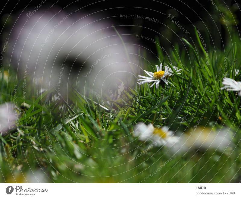 Mrs Unscheinbar ins Rampenlicht Natur weiß grün Pflanze Blume Sommer ruhig Wiese Gras Glück Frühling Park rein Gänseblümchen grasgrün