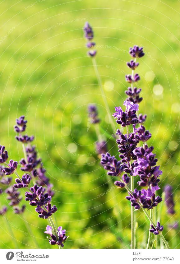 Sommertraum Blume grün Pflanze Wiese Frühling hell glänzend violett Lebensfreude Duft Schönes Wetter Leichtigkeit Lavendel Heilpflanzen