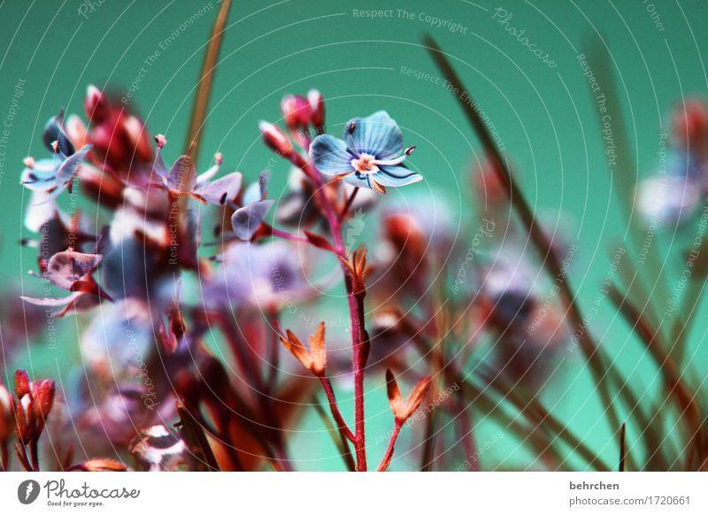 im nächsten jahr wieder... Natur Pflanze Sommer schön Blume Blatt Blüte Wiese Herbst Gras klein Garten Park Feld Wachstum Blühend