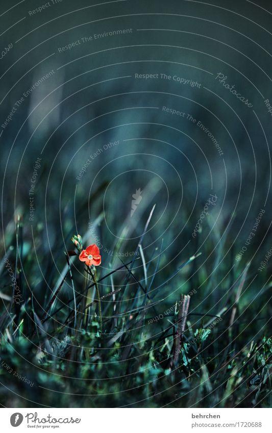 allein sein Natur Pflanze Frühling Sommer Schönes Wetter Blume Gras Blatt Blüte Wildpflanze Veronica Garten Park Wiese Feld Blühend Duft verblüht Wachstum schön