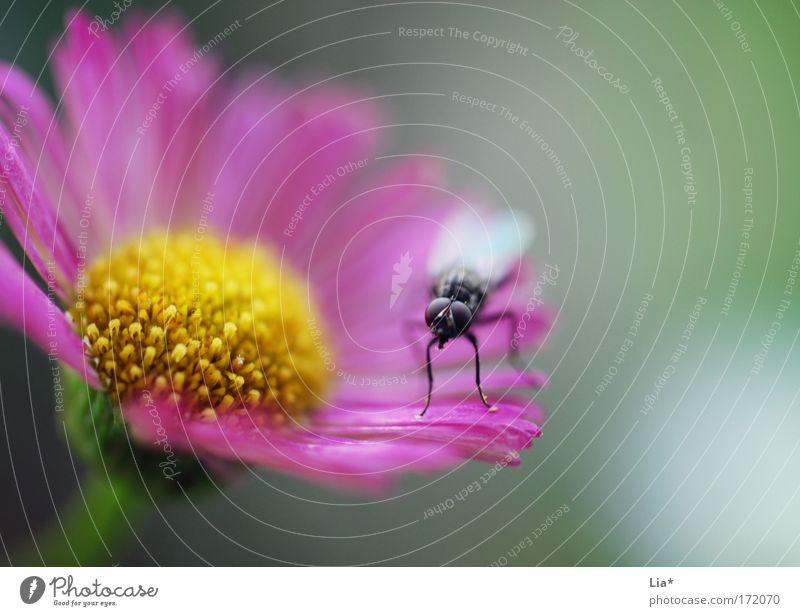 Blumenwächter Farbfoto Außenaufnahme Detailaufnahme Makroaufnahme Textfreiraum rechts Blick Blick in die Kamera Pflanze Fliege 1 Tier Blühend sitzen frech