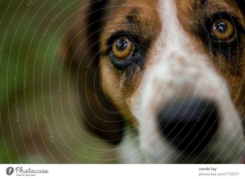 Riechkolben Tier Hund Nase Tiergesicht Fell Wachsamkeit Haustier Treue Schnauze Tierliebe Mischling Beagle Hundeblick Hundeschnauze