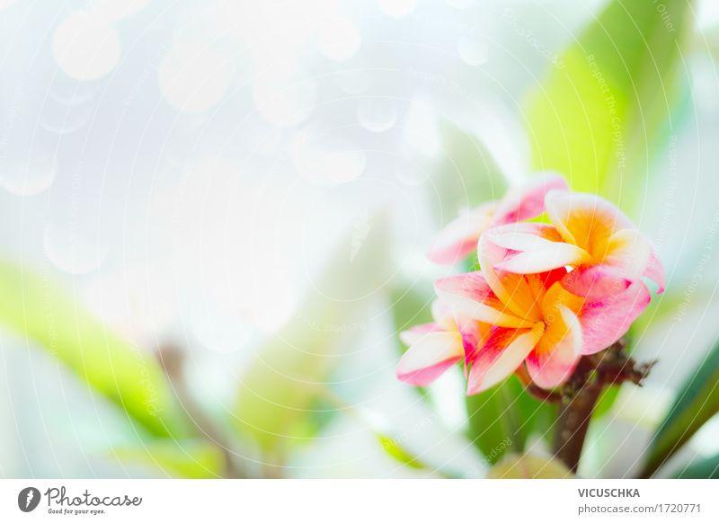 Frangipani Blumen auf Natur Hintergrund Design Spa Sommer Pflanze Frühling Blatt Blüte Garten Park gelb rosa Duft Stil Thailand tropisch exotisch Farbfoto