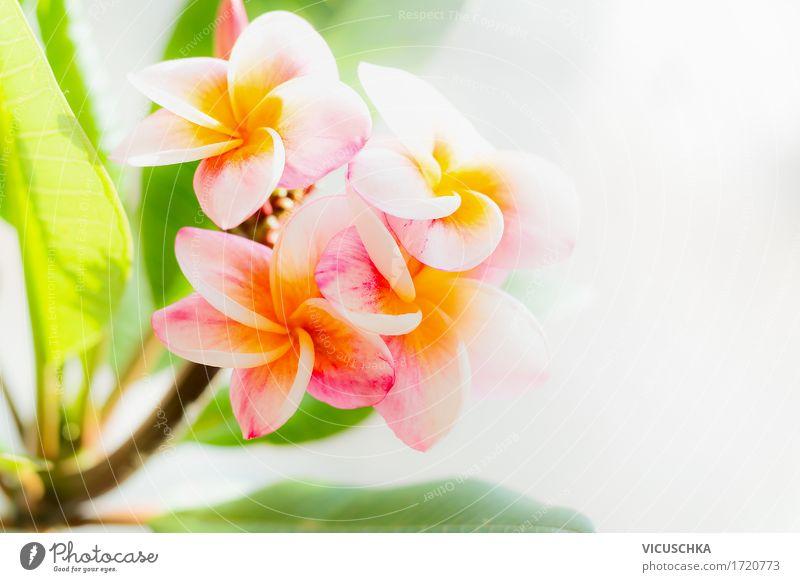Frangipani Blumen Natur Pflanze Sommer grün Blatt gelb Blüte Frühling Lifestyle Garten rosa hell Design Park Schönes Wetter