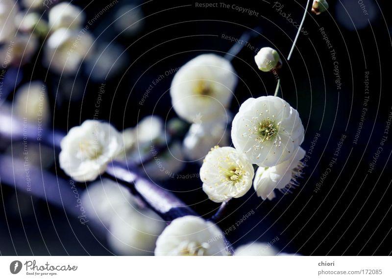 Natur weiß Baum Blume Freude Leben kalt Frühling Glück Kunst frei Feuer Coolness weich Mond