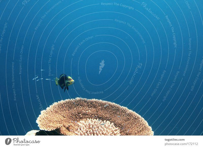 PLATZHIRSCH Wasser Meer Sommer Unterwasseraufnahme Ferien & Urlaub & Reisen Erholung Fisch tauchen entdecken Indien führen Malediven Vorgesetzter forschen Riff Korallen