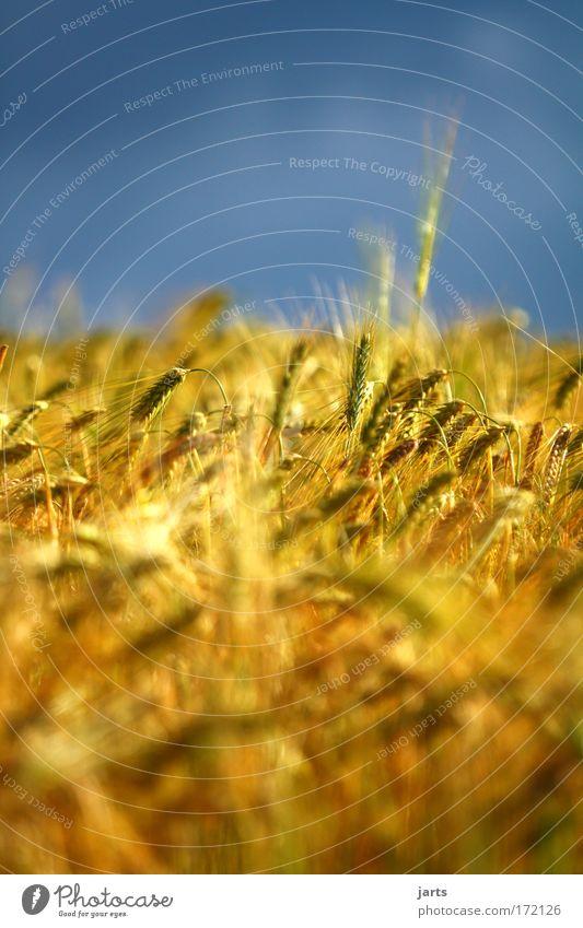 gold Himmel Natur Sommer gelb Umwelt Feld gold Getreide Kornfeld Nutzpflanze