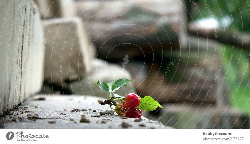 von Sonnen und süßen Kirschen Natur Baum grün Pflanze rot Sommer ruhig Blatt Einsamkeit Wand Blüte Holz grau Stein Mauer Zufriedenheit