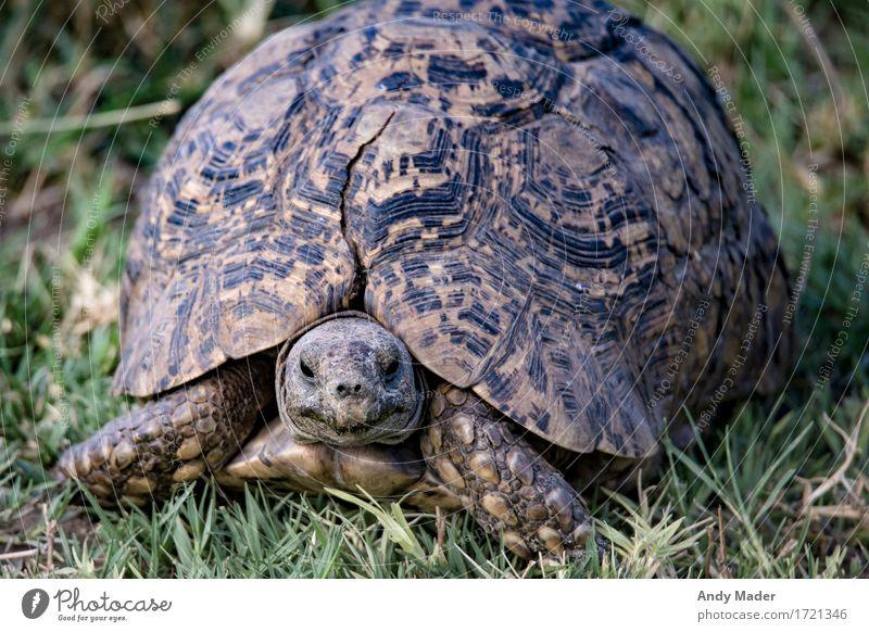 Portrait Landschildkröte Wildtier Schildkröte 1 Tier exotisch schön Panzer Riss alt groß Farbfoto Nahaufnahme Tierporträt Blick in die Kamera