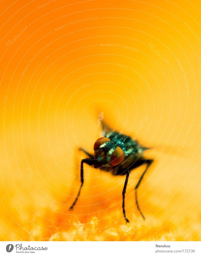 Schmeiß die Fliege Natur Sommer Tier orange Fliege Insekt Wildtier Ekel
