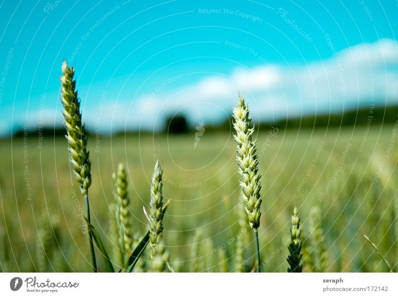 Cerealien Himmel Pflanze Sommer Wiese Gras Freiheit Landschaft Feld Umwelt Romantik Landwirtschaft Ackerbau ökologisch Getreide Grasland Weizen