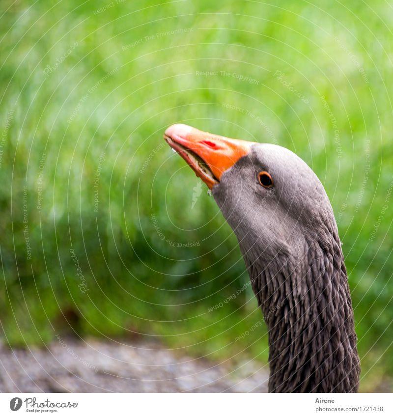 flauschig | Gänsefedern Tier Haustier Nutztier Vogel Tiergesicht Gans 1 Schwimmen & Baden beobachten trinken frech nass natürlich grau grün orange selbstbewußt