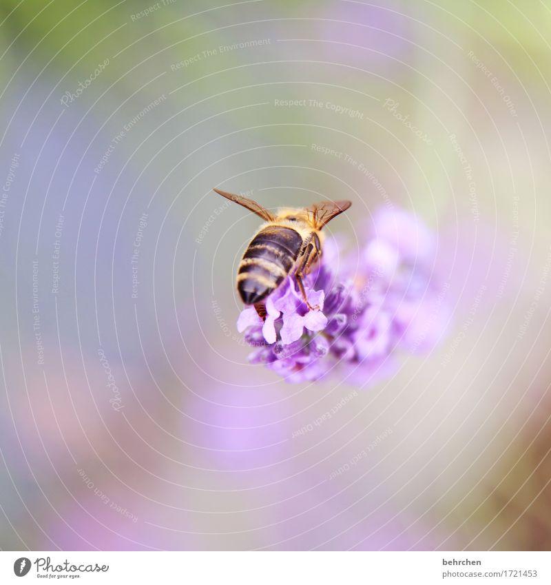 BH...BienenHintern:) Natur Pflanze Tier Sommer Schönes Wetter Blume Blatt Blüte Lavendel Garten Park Wiese Wildtier Flügel Hinterteil 1 beobachten Blühend Duft