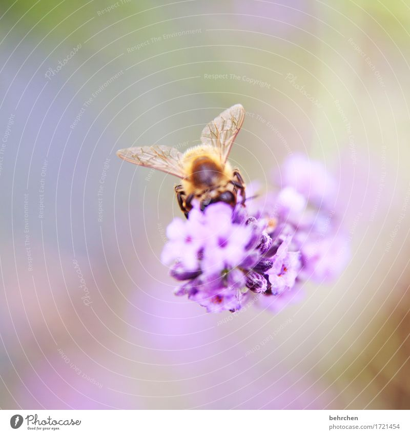 beflügelt Natur Pflanze Tier Schönes Wetter Blume Blatt Blüte Lavendel Garten Park Wiese Wildtier Biene Tiergesicht Flügel 1 beobachten Blühend Duft Erholung