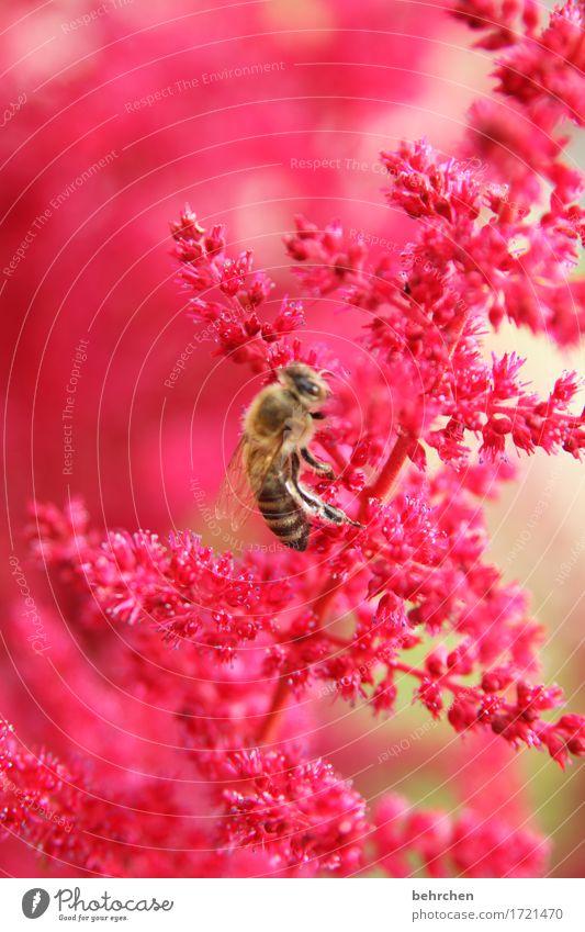 bienchen Natur Pflanze Sommer schön Blume rot Blatt Tier Wärme Blüte Wiese klein Garten fliegen Park Wildtier
