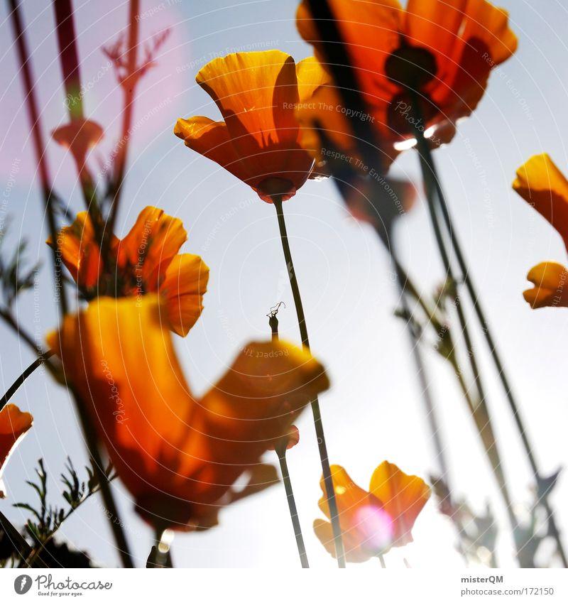 Sweet Orange. Natur schön Himmel Blume Pflanze Sommer Wiese Blüte Farbstoff Landschaft Stimmung Orange Feld blau Sonnenaufgang