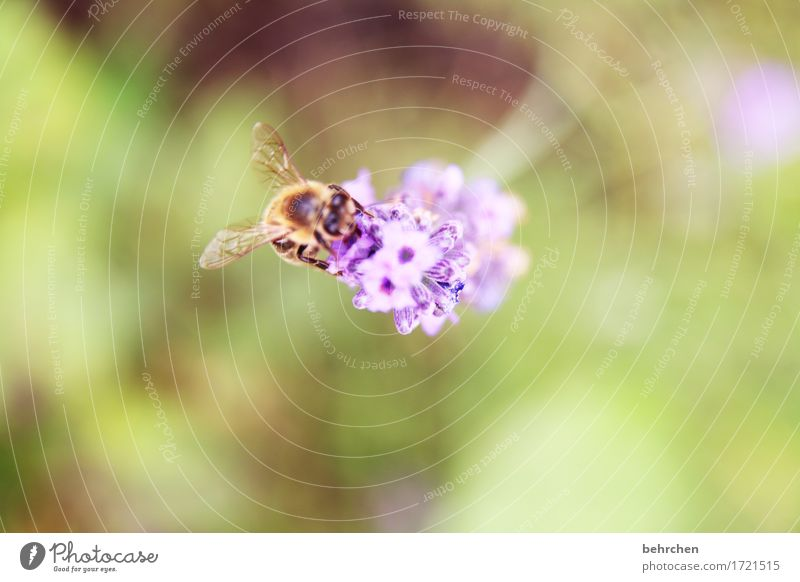 lecker lavendel Natur Pflanze Tier Sommer Schönes Wetter Blume Blatt Blüte Lavendel Garten Park Wiese Wildtier Biene Tiergesicht Flügel 1 Blühend Duft fliegen