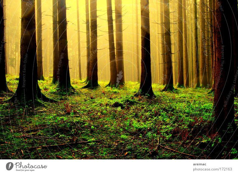 Licht im Wald Natur Baum Sonne grün Pflanze ruhig gelb Frühling Regen Landschaft Stimmung Nebel Wetter Erde Silhouette