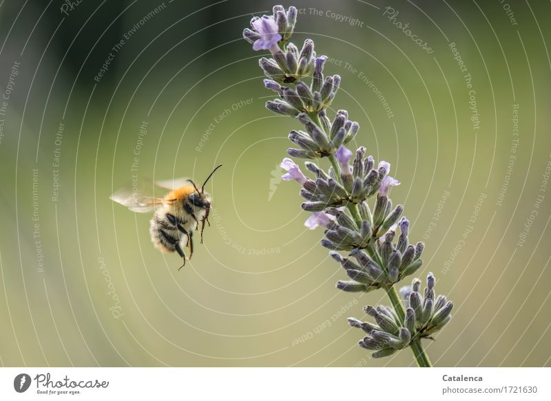 flauschig | mit Stachel Natur Pflanze Sommer grün Blume Tier schwarz Blüte Wiese Garten fliegen Arbeit & Erwerbstätigkeit Luft Wildtier gold Flügel
