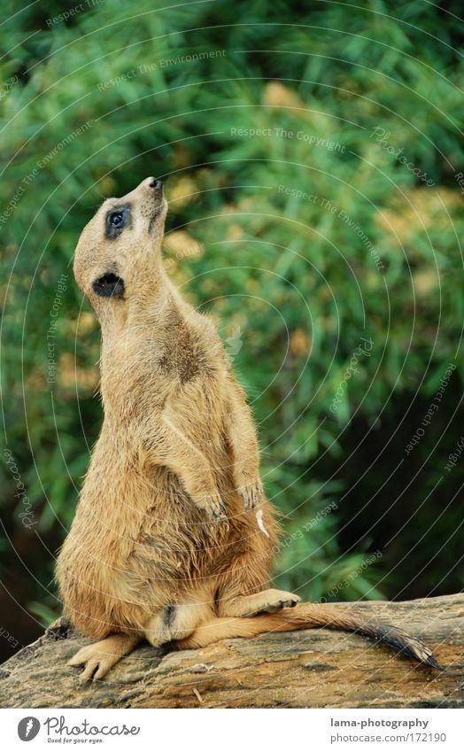 neugierig? schön Tier klein sitzen Wildtier beobachten Neugier Afrika Zoo Erwartung Interesse Nagetiere Tierliebe Savanne Erdmännchen Meerkatzen