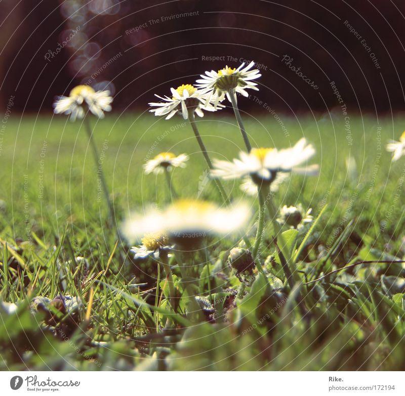 Der Sonne entgegen. Natur schön Blume grün Pflanze Sommer ruhig Wiese Blüte Gras Frühling Glück träumen Stimmung Umwelt Erde