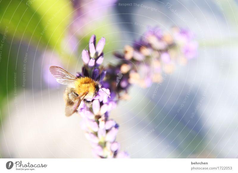 sommermelodie Natur Pflanze Tier Sommer Blume Blatt Blüte Lavendel Garten Park Wiese Wildtier Biene Flügel 1 beobachten Blühend Duft fliegen Fressen schön klein