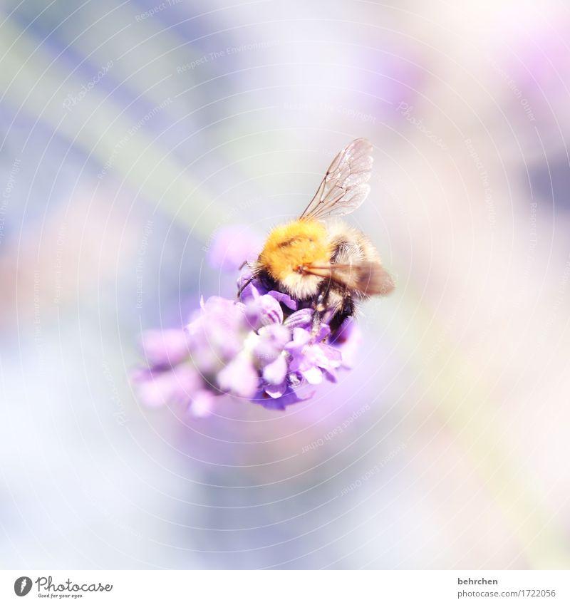schwebend Natur Pflanze Tier Sommer Schönes Wetter Blume Blatt Blüte Lavendel Garten Park Wiese Wildtier Biene Flügel Hummel 1 Blühend Duft fliegen Fressen