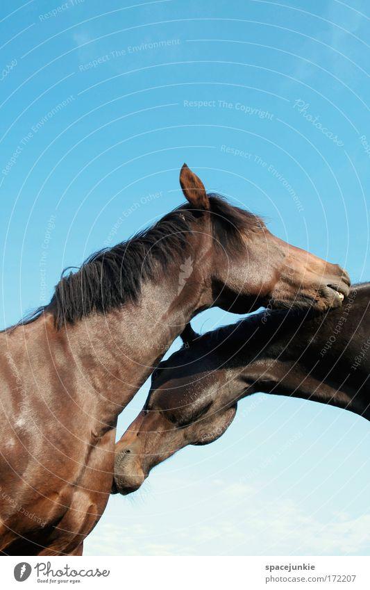 Happy horses schön Tier Zufriedenheit Zusammensein Kraft Tierpaar Pferd Sicherheit paarweise Küssen Schutz Vertrauen Sehnsucht berühren Neugier