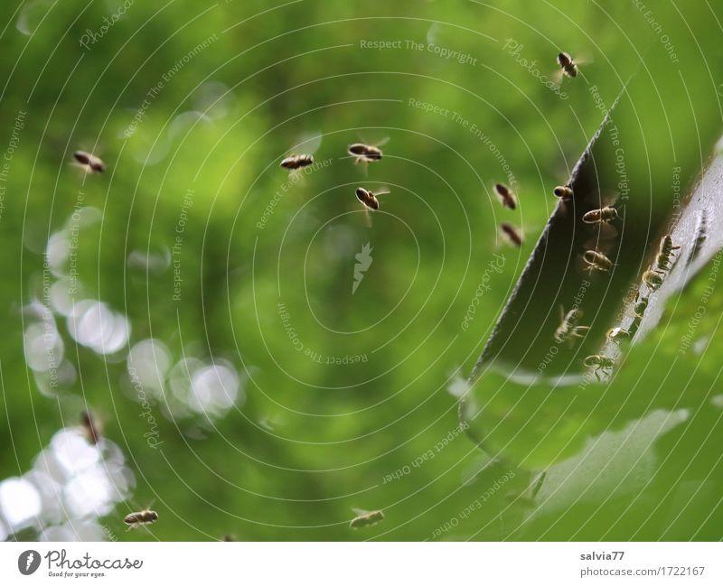 Schwärmerei Umwelt Natur Pflanze Tier Sommer Baum Blatt Grünpflanze Wald Nutztier Biene Honigbiene Bienenstock Schwarm fliegen krabbeln grün fleißig