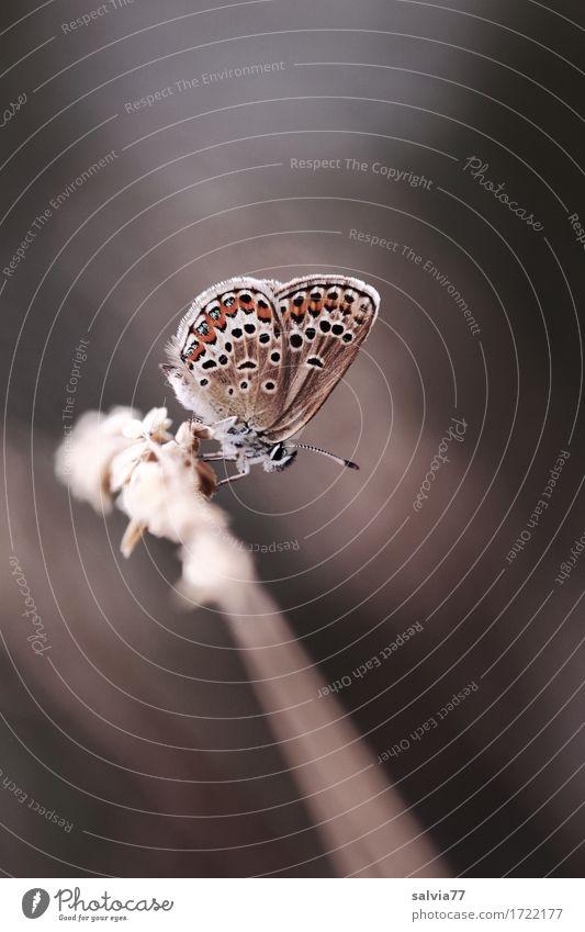 kleiner Flitzer Tier Sommer Gras Wildtier Schmetterling Flügel Argus Bläuling Bläulinge Insekt entomologie tagfalter 1 sitzen blau braun grau Glück