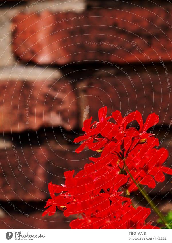Ruhrpottgeranie Natur rot Pflanze Sommer Farbe Haus Umwelt Erotik Wand Blüte Stein Mauer Gebäude braun Fassade natürlich