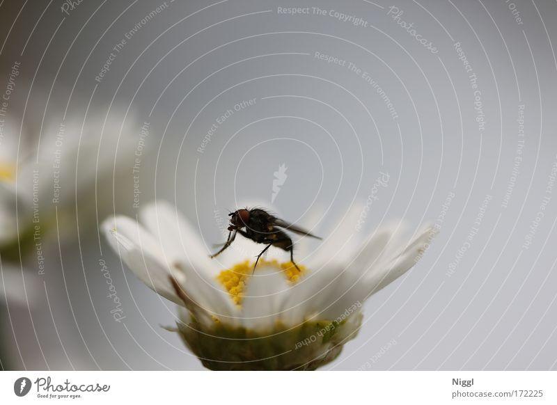 Aussichtspunkt Natur Blume Pflanze Sommer schwarz Tier Blüte Frühling klein Fliege sitzen Flügel Summen Schmeißfliege