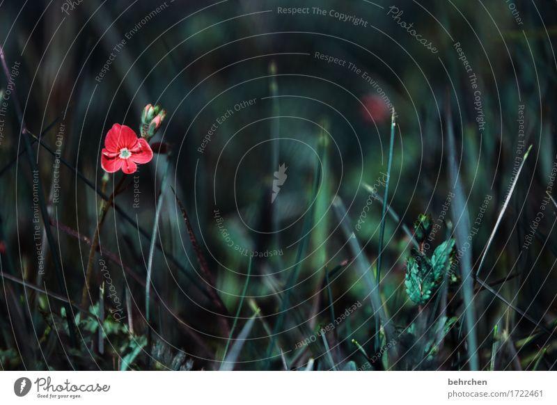 verloren fühlen Natur Pflanze Sommer schön Blume rot Einsamkeit Blatt dunkel Blüte Traurigkeit Wiese Gras klein Garten Park