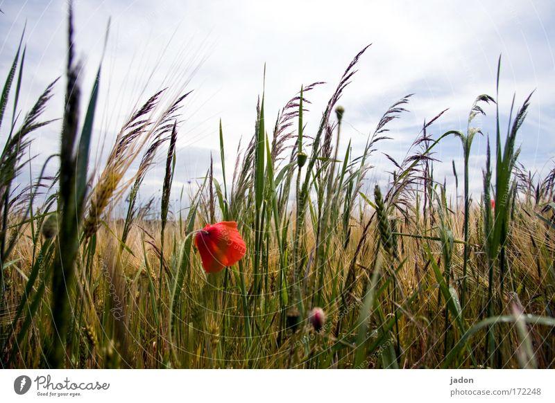 sommer Farbfoto Außenaufnahme Nahaufnahme Froschperspektive Bioprodukte harmonisch Pflanze Sommer Blume Nutzpflanze Feld Kornfeld Blühend ästhetisch natürlich