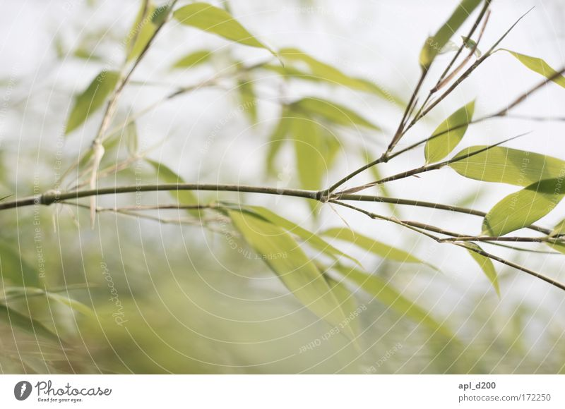 we love bamboo Natur grün Pflanze gelb Erholung Gras Zufriedenheit Kraft Umwelt ästhetisch exotisch Grünpflanze Wildpflanze
