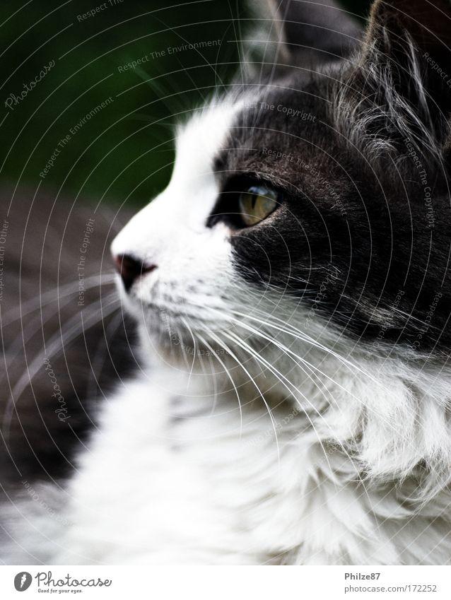 chaser of the night Farbfoto Außenaufnahme Nahaufnahme Tag Wegsehen Garten Haustier Katze Tiergesicht Fell 1 beobachten Jagd kuschlig listig klug grau weiß