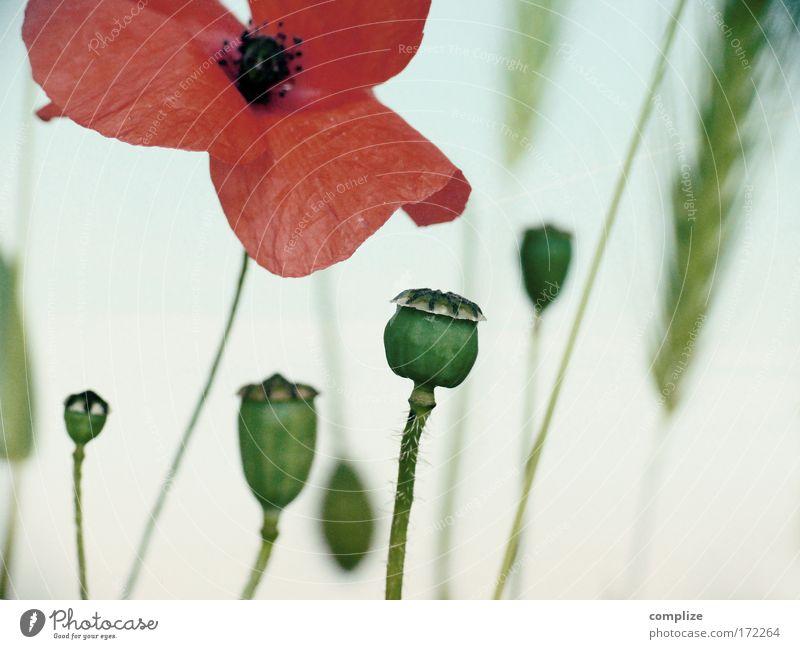 Mohnika Farbfoto Abend Dämmerung Umwelt Natur Landschaft Pflanze Himmel Schönes Wetter Blume Gras Sträucher Blüte Grünpflanze Klima Mohnblüte Rauschmittel opium