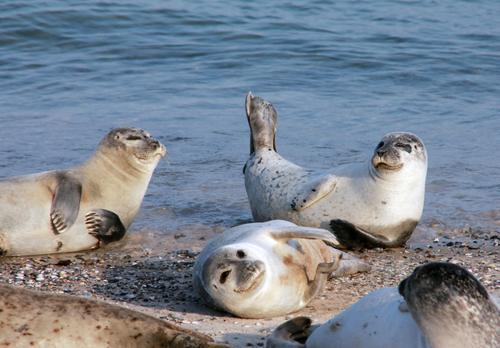 Sonnenbad... Umwelt Natur Tier Wasser Sommer Schönes Wetter Küste Strand Meer Nordsee Insel Helgoland Wildtier Robben 4 Tiergruppe Erholung liegen authentisch
