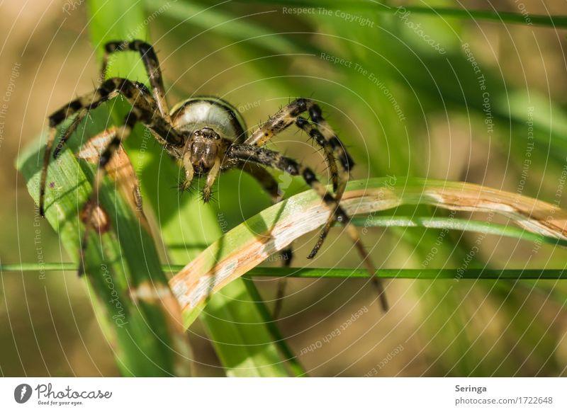 Wespenspinne Pflanze Tier Sommer Gras Garten Park Wiese Feld Wald Wildtier Spinne Tiergesicht 1 fangen krabbeln Spinnennetz Spinnenbeine Farbfoto mehrfarbig
