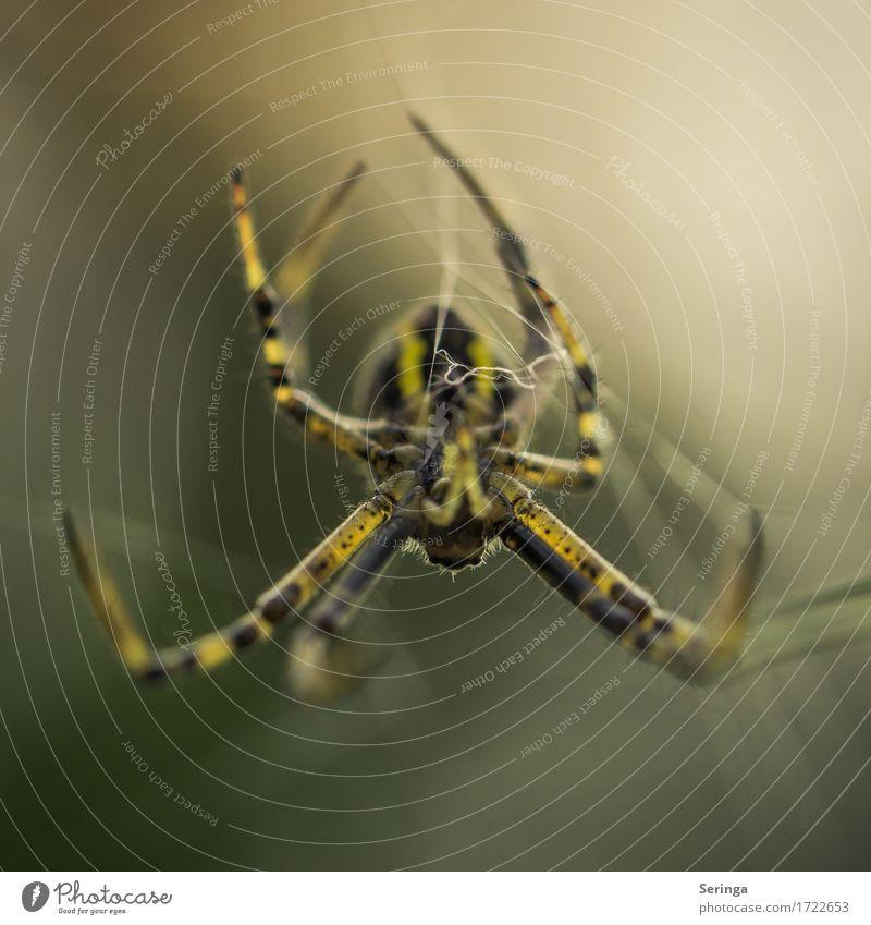 Kopfüber Tier Wildtier Spinne Tiergesicht 1 Bewegung Fressen Wespenspinne Insekt Hängen Spinnennetz Farbfoto Gedeckte Farben Außenaufnahme Nahaufnahme