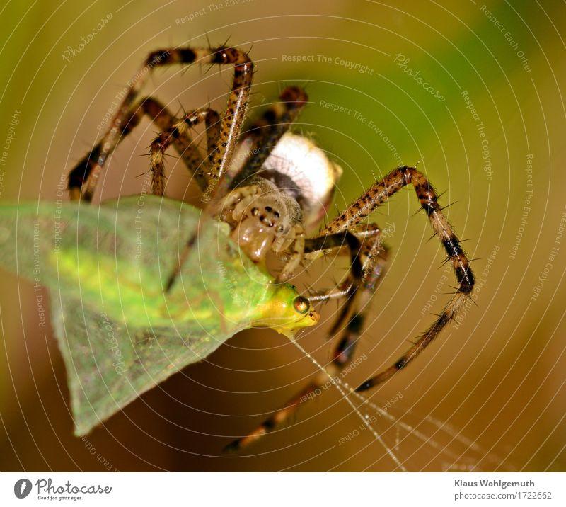"""regulus56:""""Ein Florfliegen Schicksal"""" Fleisch Bioprodukte Umwelt Natur Tier Sommer Herbst Wiese Wildtier Fliege Spinne Tiergesicht Flügel 1 2 fangen Fressen"""