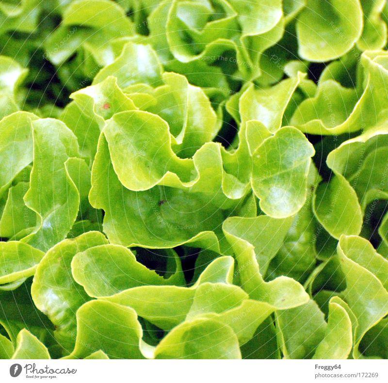 Salat Natur grün Pflanze Gesundheit frisch Wachstum Nutzpflanze