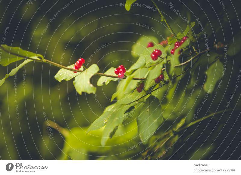 """b """"""""""""ääää"""""""""""" rig elegant Stil Natur Schönes Wetter Pflanze Baum Blatt Wildpflanze rote Beeren Zweige u. Äste Wald giftige rote Beeren hängen leuchten Wachstum"""