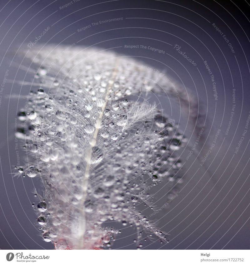 flauschig | mit Perlen Wassertropfen Sommer Feder festhalten glänzend liegen ästhetisch außergewöhnlich schön einzigartig klein nass natürlich blau grau weiß