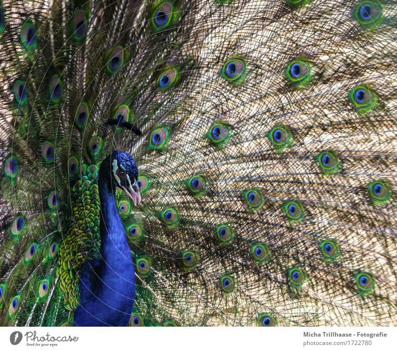 Pfau elegant Tier Wildtier Vogel Tiergesicht Flügel 1 Brunft leuchten Blick stehen exotisch glänzend schön natürlich blau mehrfarbig grün rot Tierliebe eitel