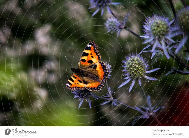 Kleiner Fuchs an Distel Natur Ferien & Urlaub & Reisen Pflanze Sommer Blume Landschaft Tier Freude Ferne Umwelt Gefühle Wiese Freiheit Tourismus wandern